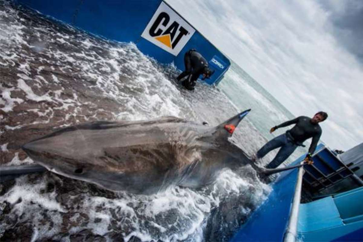 Lydia, the great white shark.