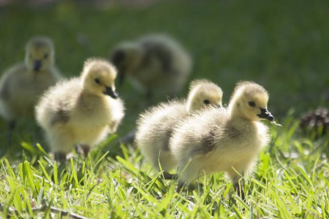 Little Canadian aliens: Goslings on campus