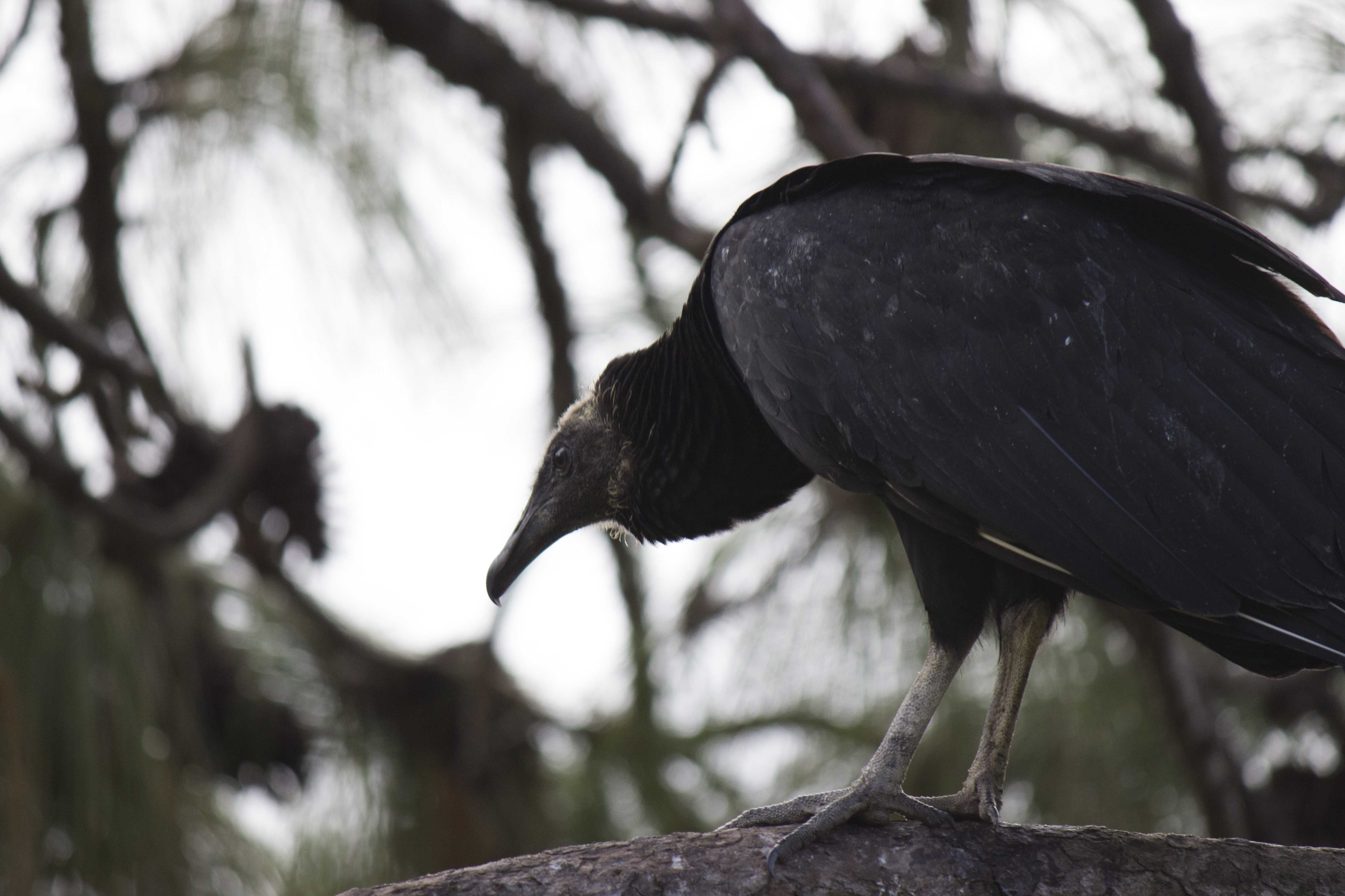 Experts say UNF's vultures on campus mean no harm