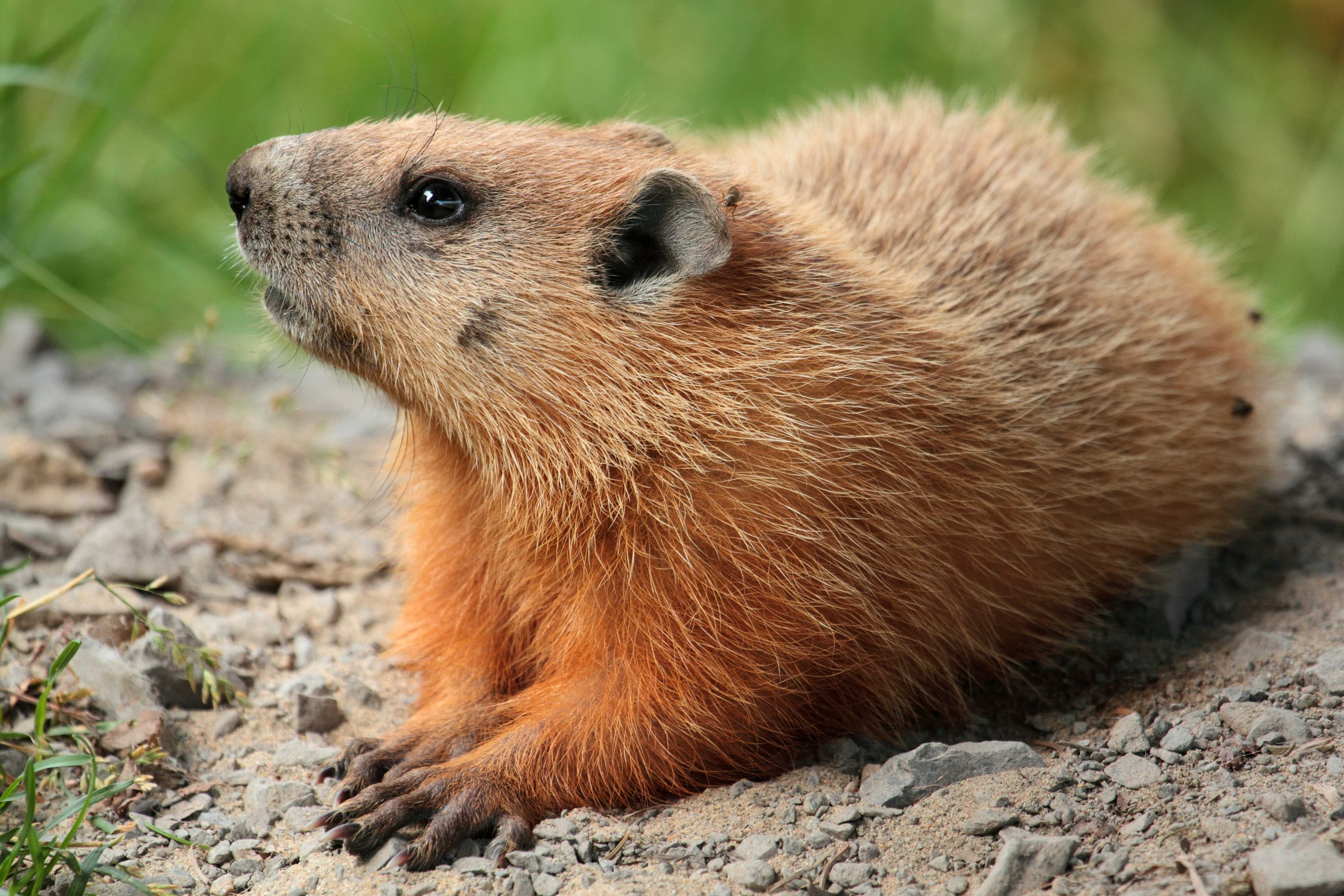 Six more weeks of winter, and a look back at why a groundhog tells us so