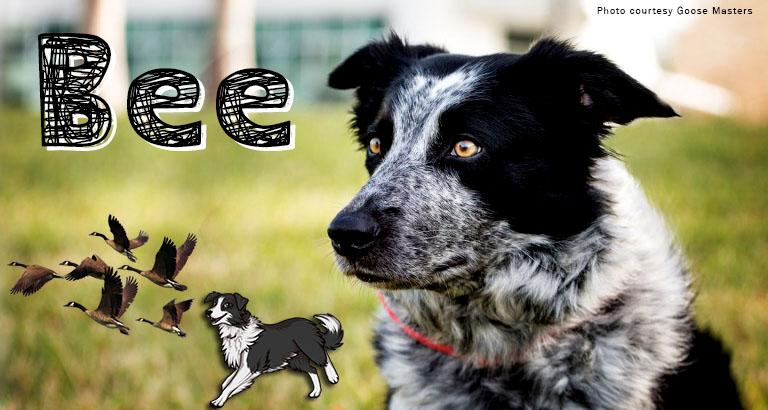 Bee the Border Collie still hard at work on campus