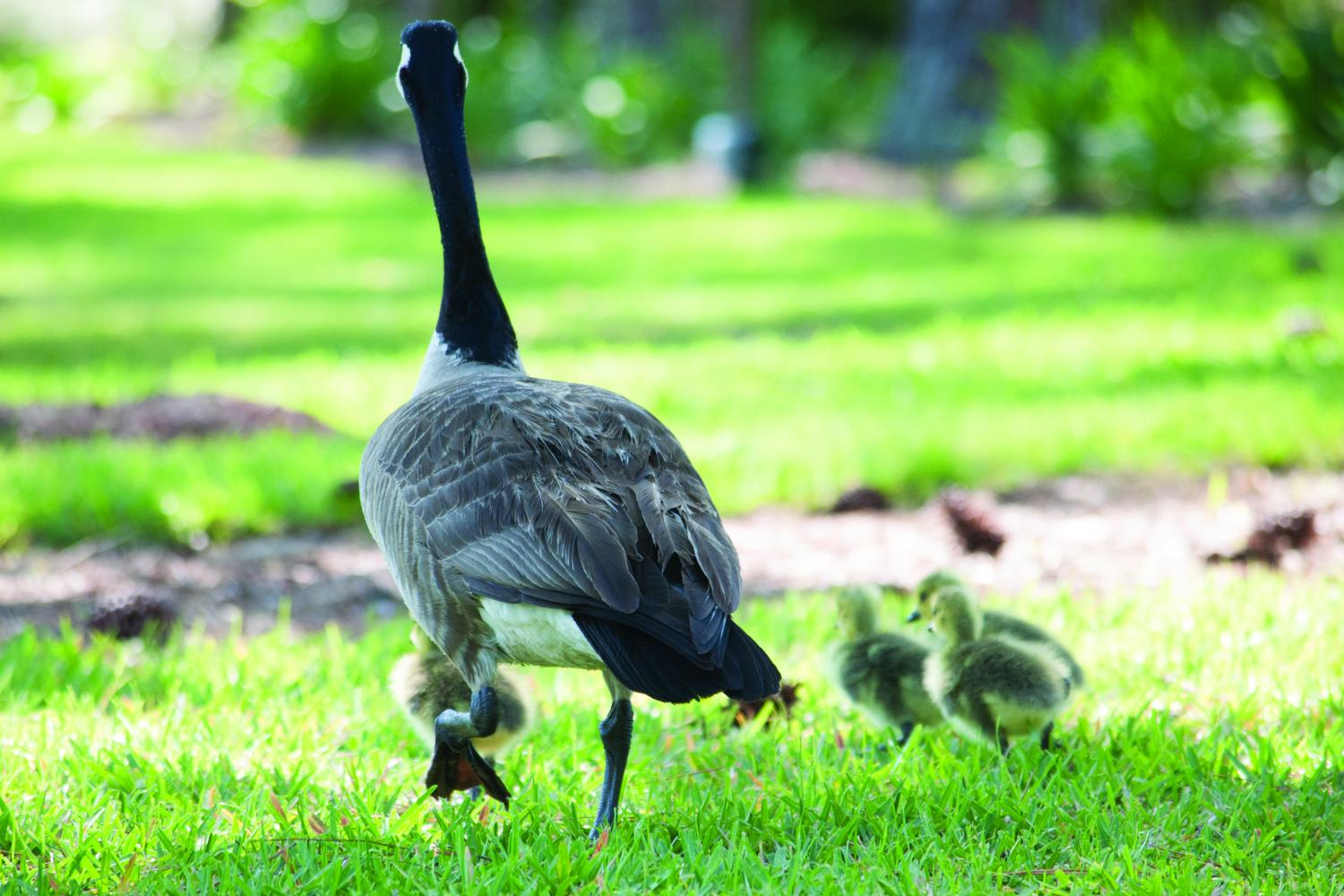 Man on the street: geese leaving campus
