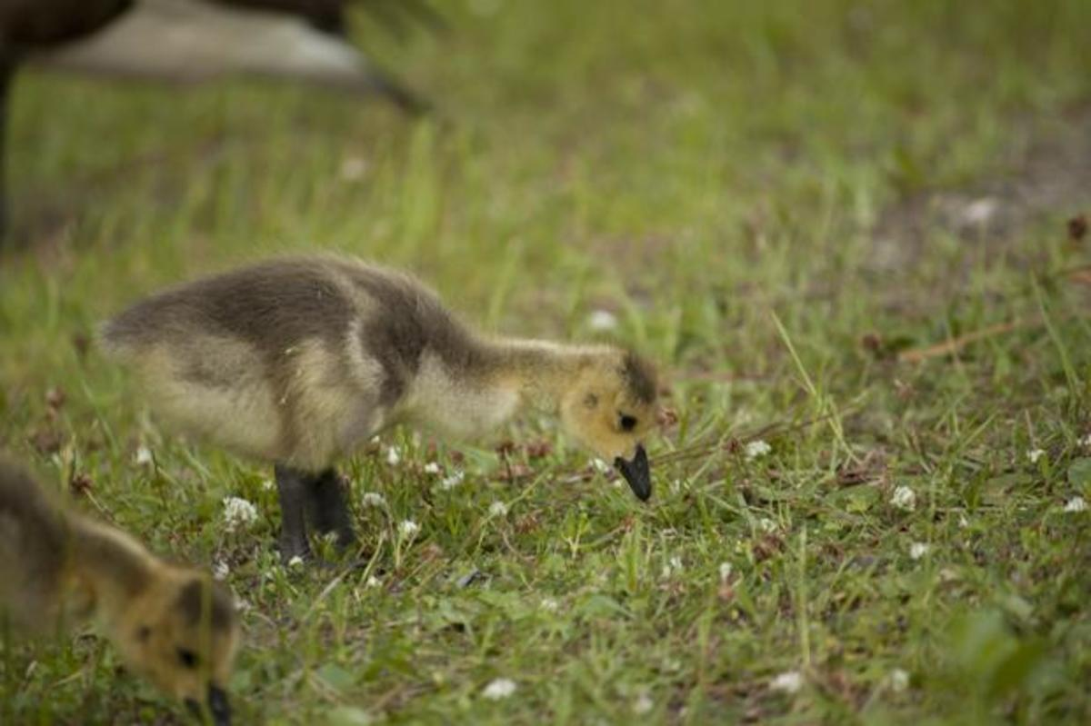 Spring semester means sweet newborn goslings on campus. Photo by Josh Brangenberg
