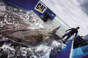 The OCEARCH team tagged and released Lydia, a Great White shark, in 2013 off of Jacksonville's coast. Photo courtesy OCEARCH