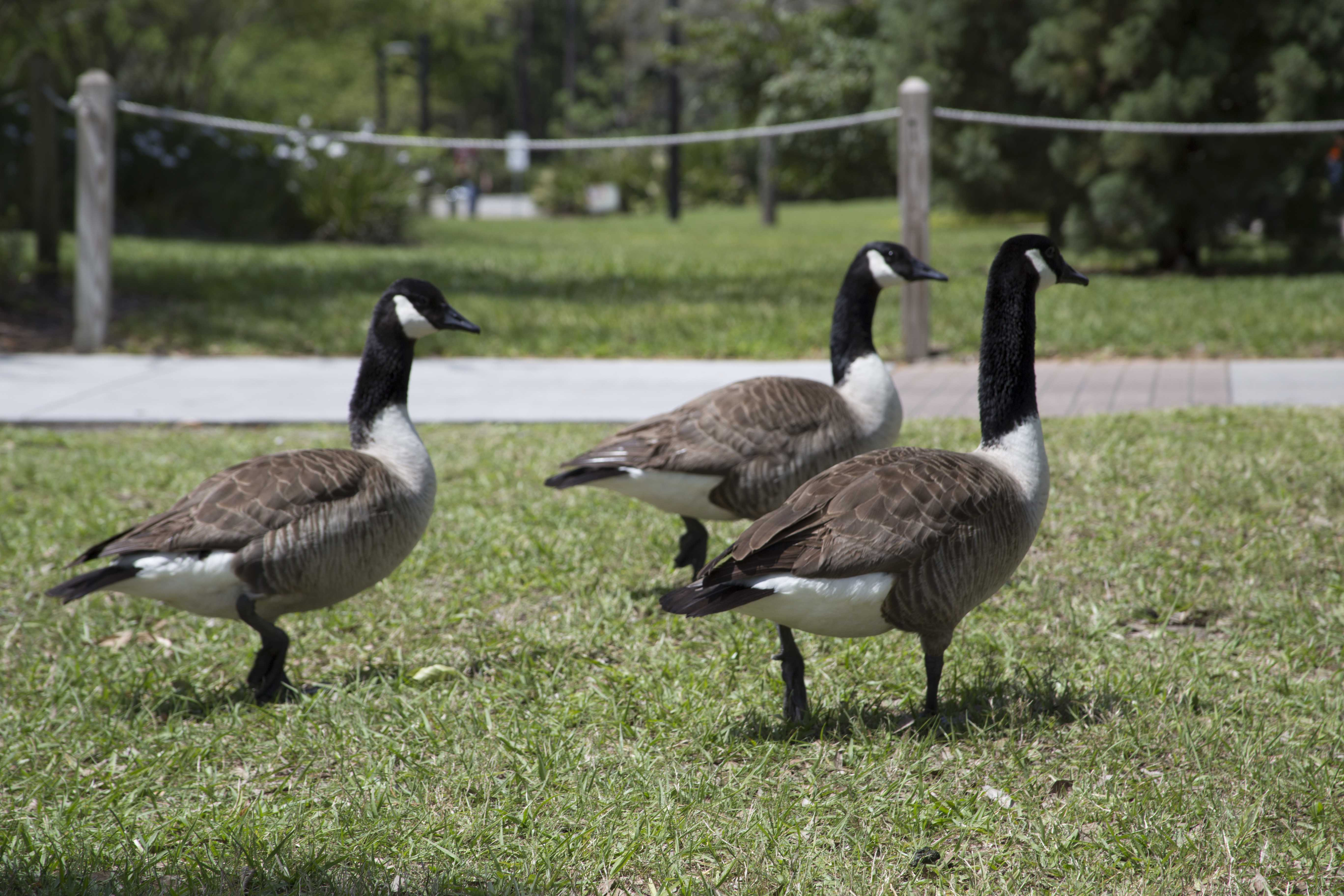 UNF considering border collies to herd geese away from campus
