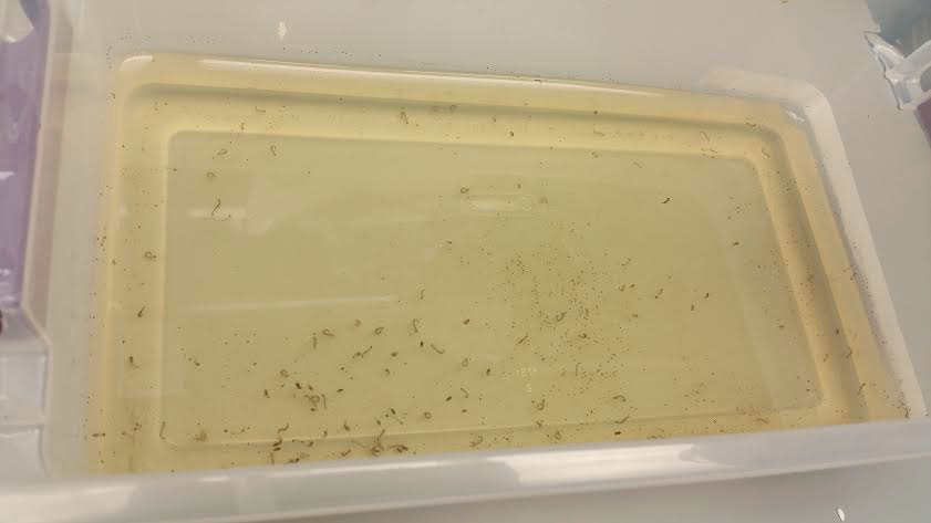 Mosquito larvae are placed in a mixture  to stop them from completing the pupal stage.