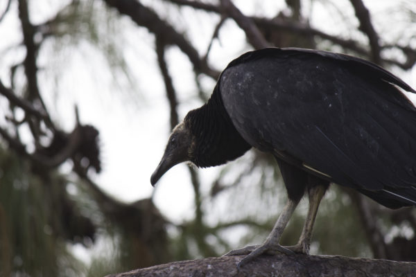 Vulture on UNF. Photo by