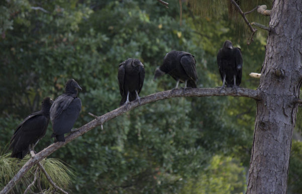Vultures on UNF. Photo by