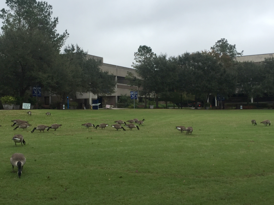 The geese sometimes make it hard for students to enjoy campus amenities, like the green. Photo by Nick Blank