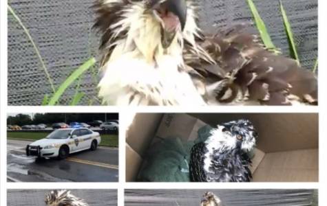 JSO helps rescue an Osprey