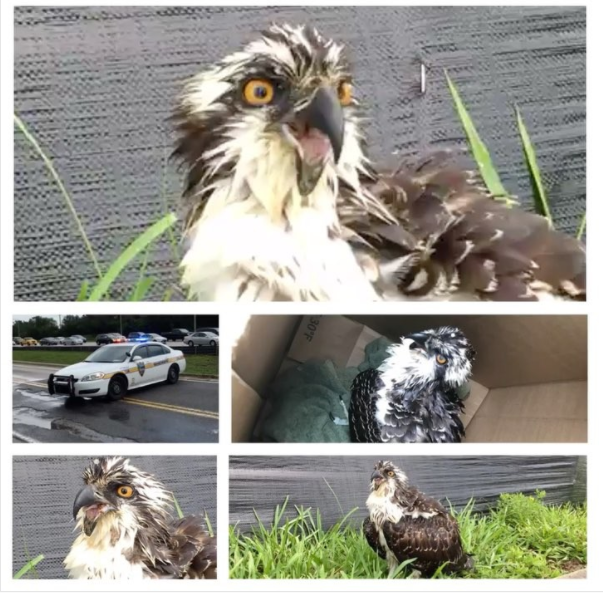 JSO helped to rescue this injured Osprey earlier this week. <i> Photo courtesy of JSO</i>