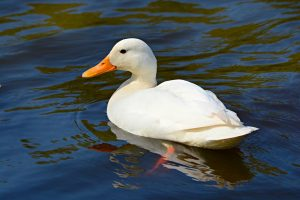 A white duck that looks like Howard the Duck.