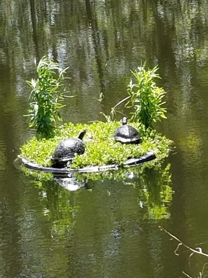 Turtles on Turtle Island in Candy Cane Lake