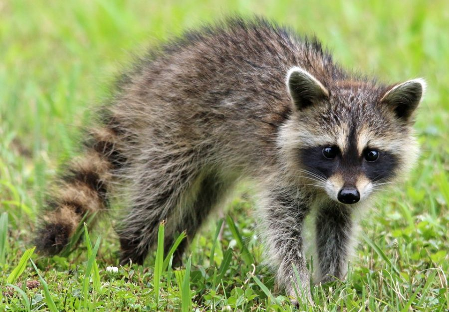 Rise of the Raccoons
