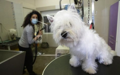 Valentina Bacchin, wearing a sanitary mask to protect against COVID-19 looks at Wilfy, a young westie dog needing a haircut, in the Bottega di Zula pet grooming shop in Rome, Wednesday, May 6, 2020. Bacchin reopened her shop on Monday when Italy began stirring again after a two-month coronavirus shutdown, with 4.4 million Italians able to return to work and restrictions on movement eased in the first European country to lock down in a bid to stem COVID-19 infections. (AP Photo/Alessandra Tarantino)