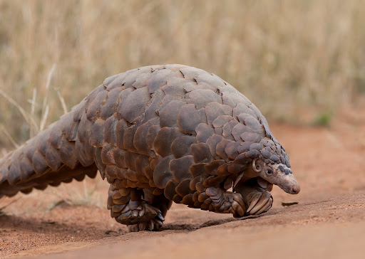 Pangolins: The cause of coronavirus?