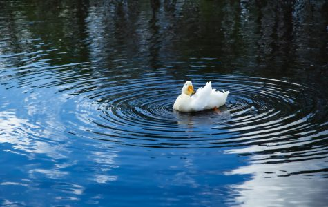 UNF ducks mysteriously die; virus to blame
