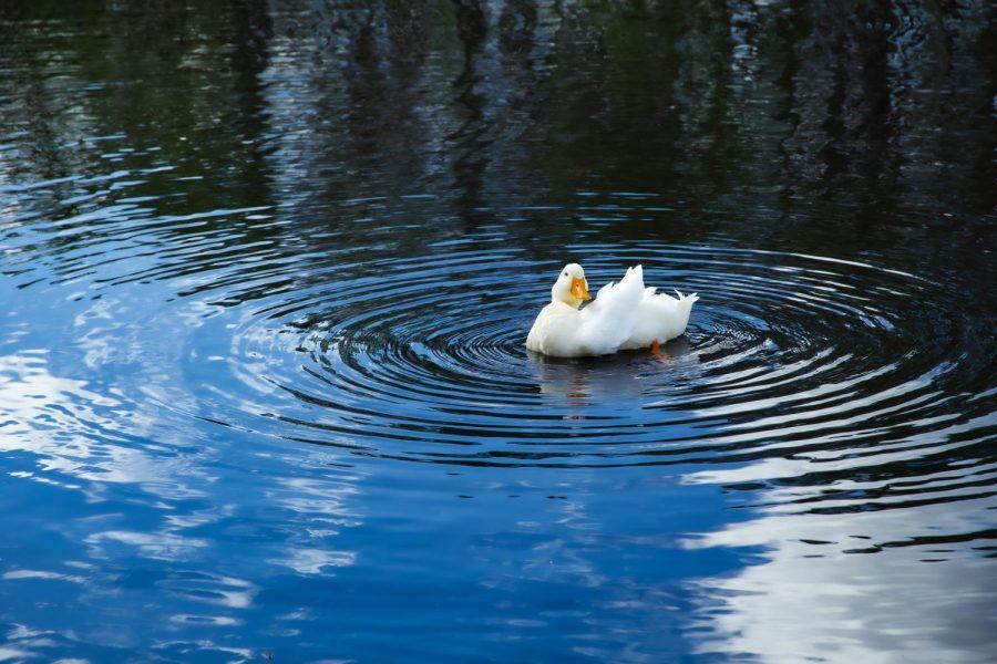 UNF ducks mysteriously die; virus to blame