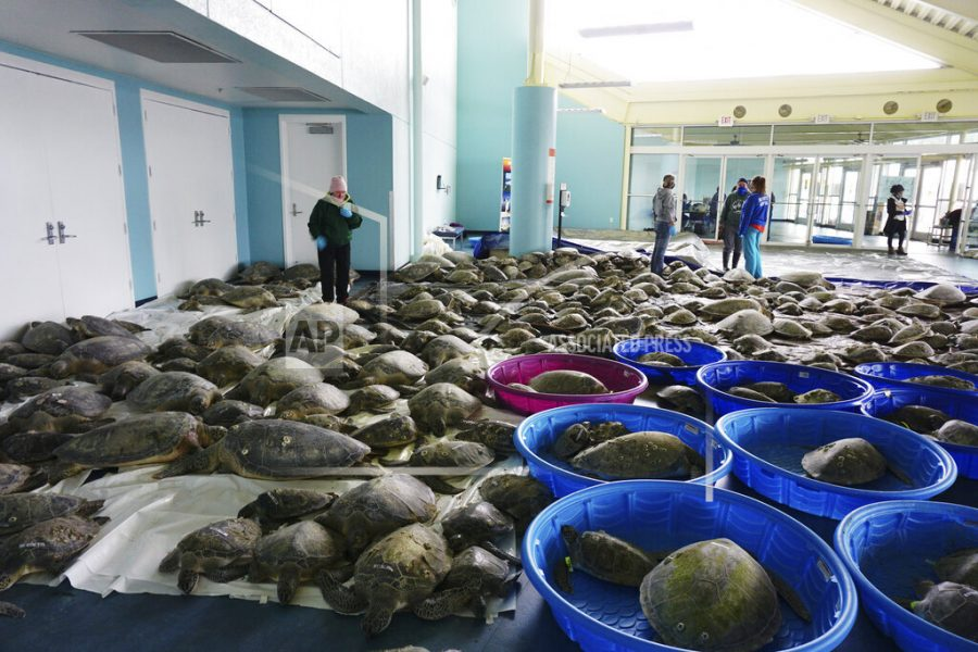 FILE - In this Feb. 16, 2021, file photo, thousands of Atlantic green sea turtles and Kemp